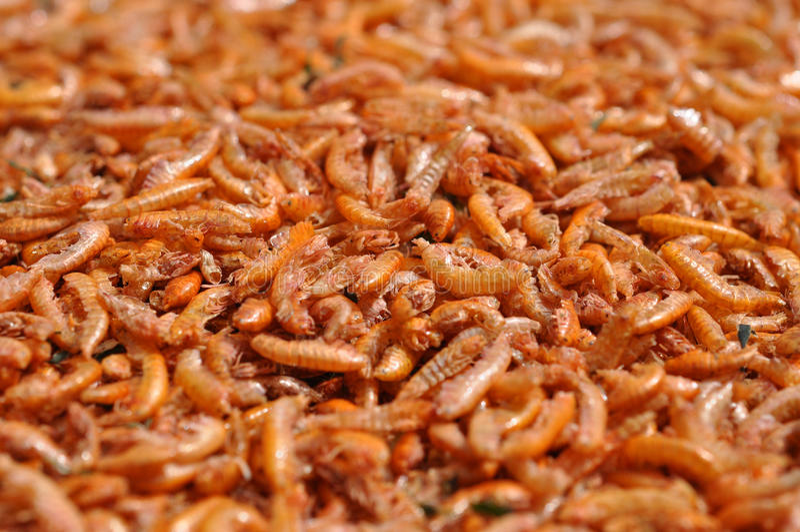 Download Dry gammarus stock photo. Image of biology, amphipoda - 25473206