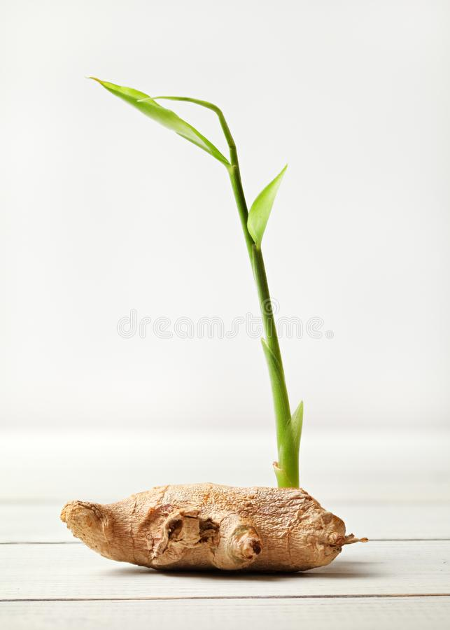 Dry ginger Zingiber officinale root, with green sprout, on whi royalty free stock image