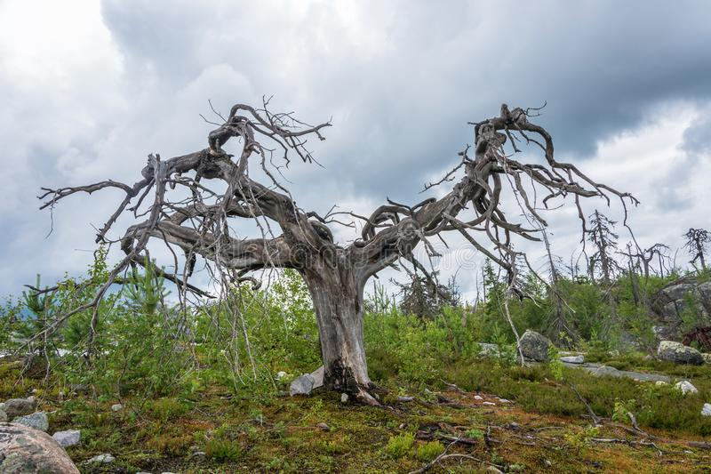 Gnarled tree on the mountain Vottovaara. Dry gnarled tree on the mountain Vottovaara, Karelia, Russia stock photos