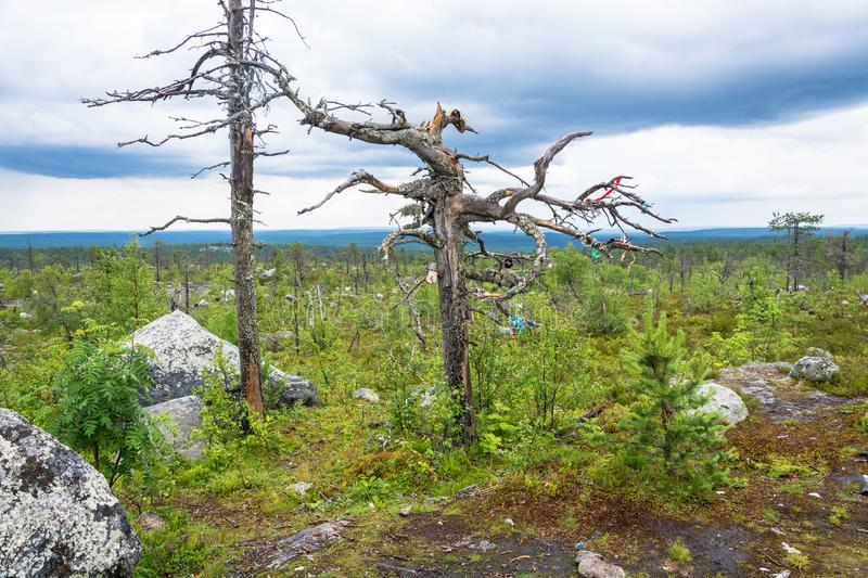 Gnarled tree on the mountain Vottovaara. Dry gnarled tree on the mountain Vottovaara, Karelia, Russia stock photo