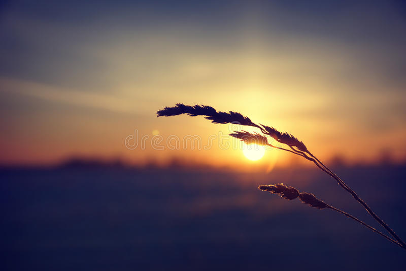 Dry grass against cold winter sunrise royalty free stock images