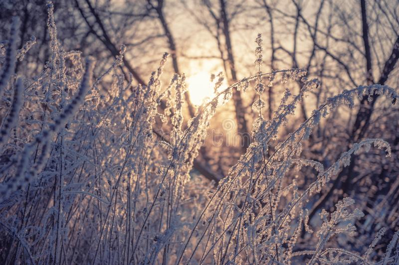 Dry grass against the setting sun in winter. Dry the umbrellas of frost-covered plants vertically. Shining cold in the winter. Forest. Christmas background royalty free stock photo