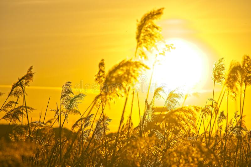 Dry grass blowsoms against Sun. Moody shot of dry tall grass blossoms against low winter sunset stock images