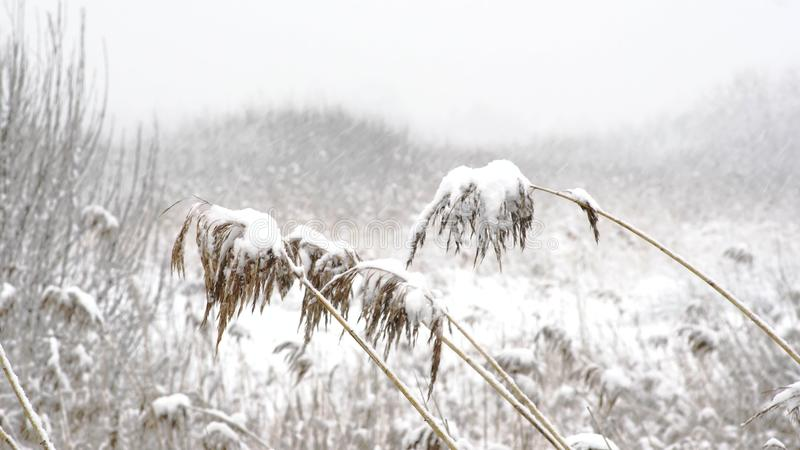 Dry grass cowered with snow, nature background royalty free stock photos