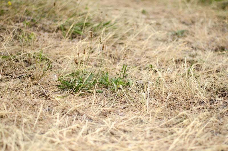 Dry grass. During a drought with some green plants still royalty free stock image