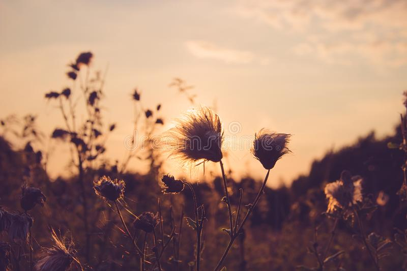 Dry Grass field at sunset or sunrise, grass flowers with rim of royalty free stock images
