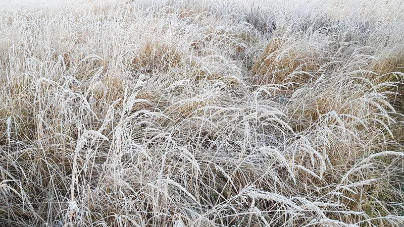 Grass with white frost in first morning light royalty free stock images