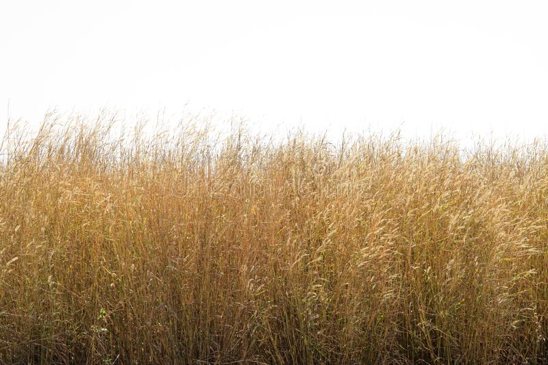 Dry grass flower field isolated on white background. stock photo