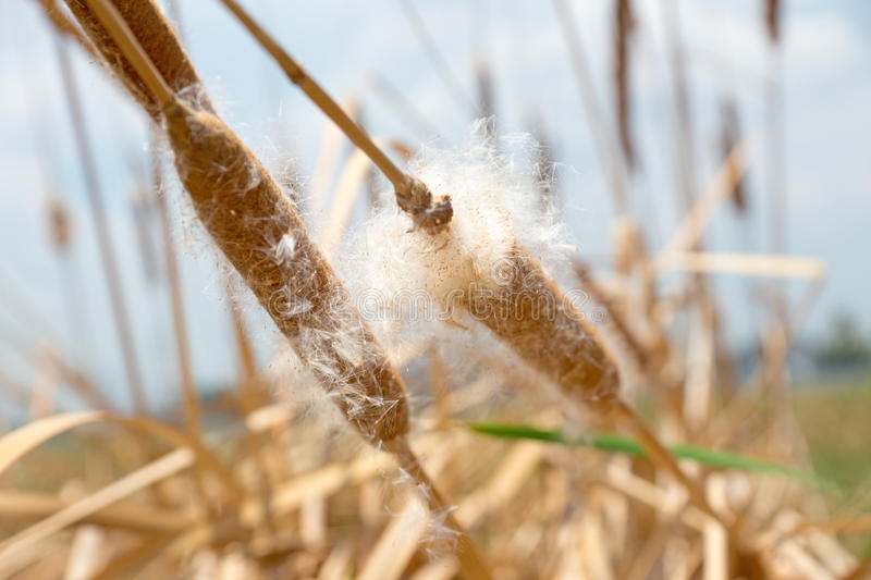 Download Dry Grass Flower With Flying Seeds Stock Image - Image: 41598959
