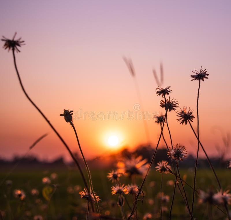 Dry grass flowers on the rice fields with beautiful sunrise background. royalty free stock image
