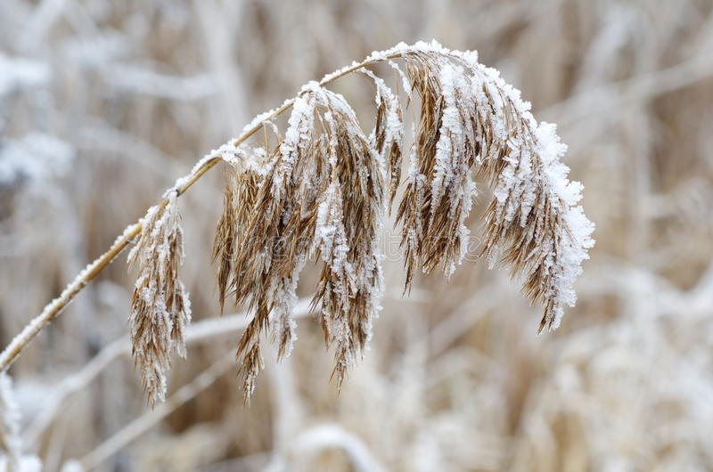 Dry grass in frost royalty free stock images