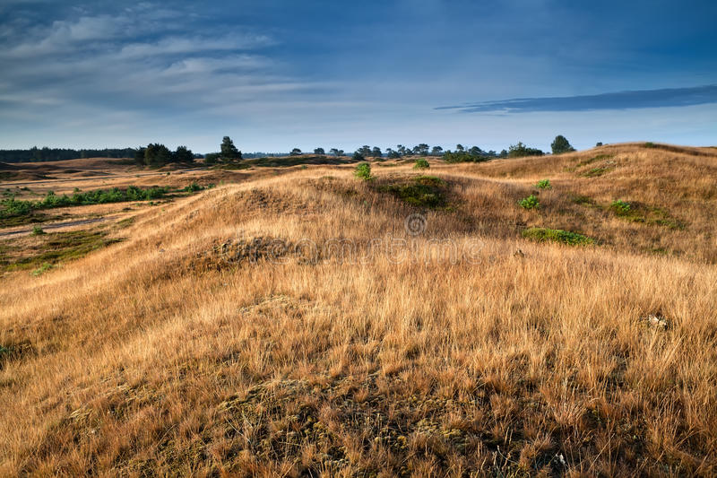 Dry grass on hills in morning sunlight. Drents-Friese Wold, Netherlands royalty free stock photo
