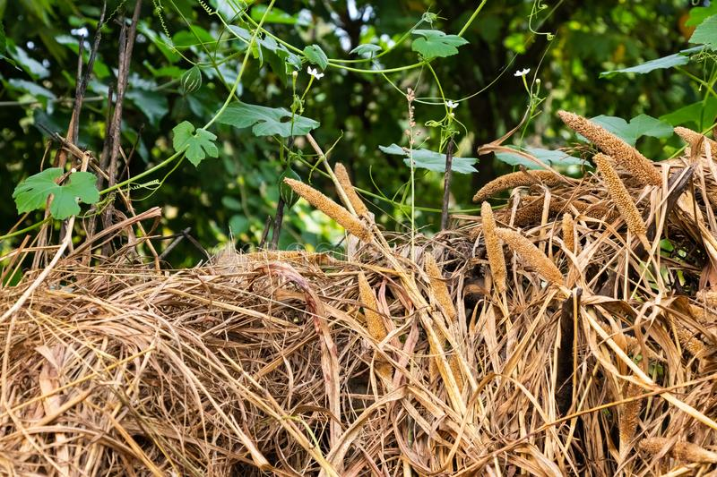 Dry grass lying outside the stall royalty free stock photo