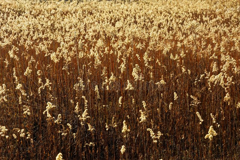 Dry grass in the meadow in the morning light royalty free stock photography