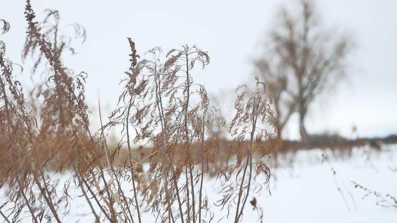 Dry grass sways in the wind in snow landscape winter nature. Dry grass sways in wind in snow landscape winter nature stock image