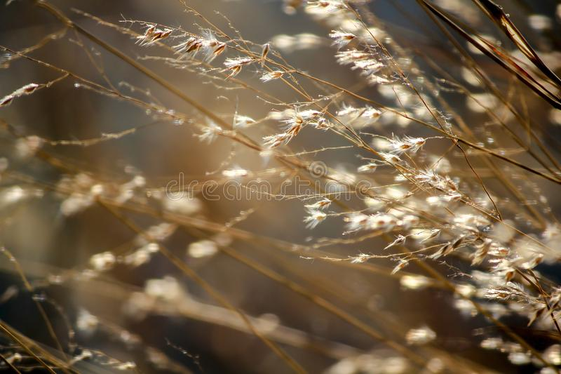 Dry grass tilted by the wind. Dry grass and dry pollen that are tilted in natural wind royalty free stock photography