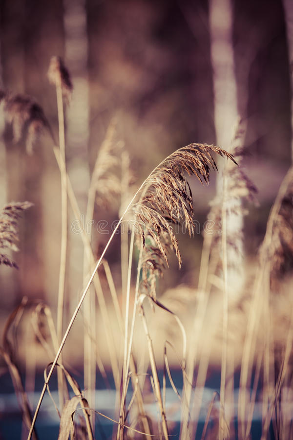 Dry grass in winter time, Poland. Dry grass in winter time, Poland royalty free stock image