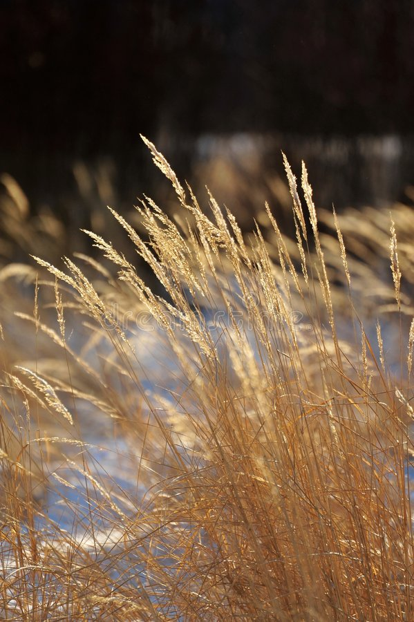 Dry grasses royalty free stock image