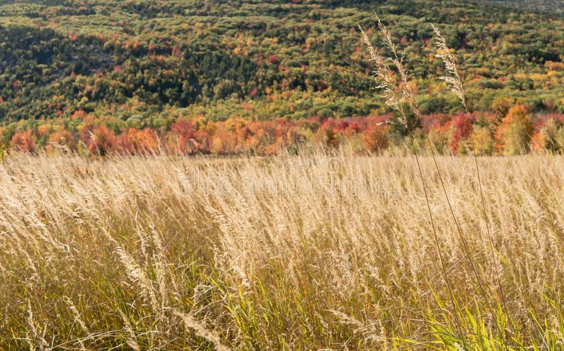 Dry Grasses in Meadow Below Colorful Trees. Along Maine mountain stock photo