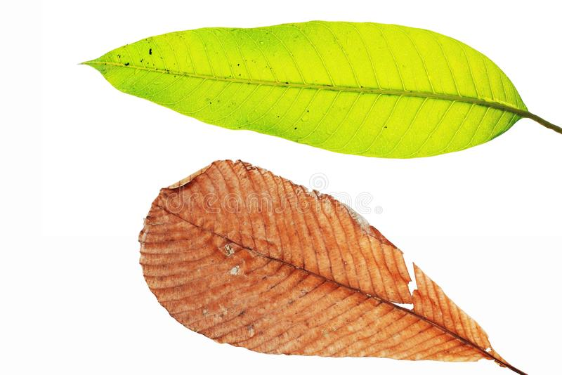Download Dry And Green Leaf Isolated On White Stock Photo - Image: 99298888