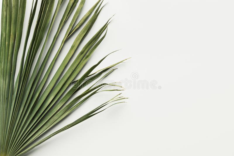 Dry greenish palm leaf on white background. Botanical tropical summer topic. Natural materials for interior decoration royalty free stock image
