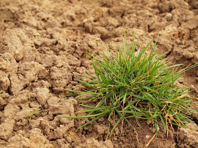 Dry ground of cracked clay with tuft of grass. Dry ground of cracked and crushed clay with last green tuft of grass stock photo