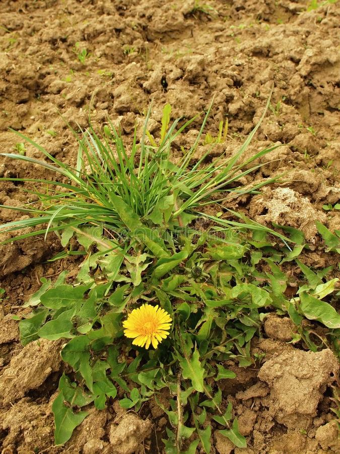 Dry ground of cracked and crushed clay with last green dandelion. One green tuft of grass royalty free stock photos