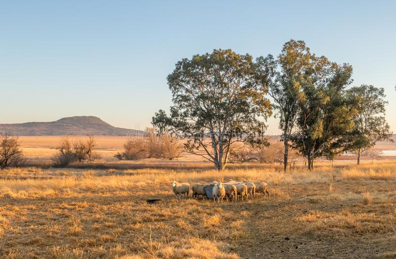 Dry landscape with sheep in a farming area. Winter landscape with sheep in kwaZulu-Natal Midlands in South Africa image in landscape format stock images