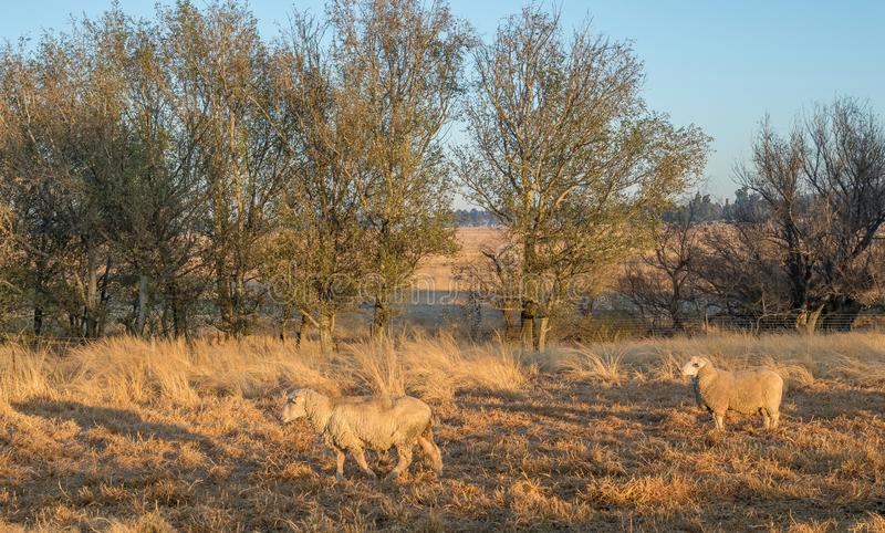 Dry landscape with sheep in a farming area. Winter landscape with sheep in kwaZulu-Natal Midlands in South Africa image in landscape format royalty free stock image