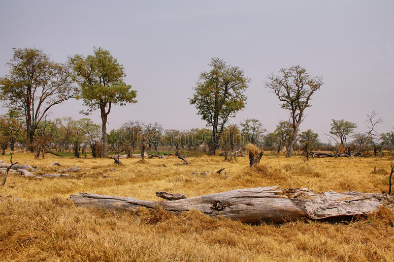Dry landscape on winter in Moremi game reserve. Dry landscape of grassland and trees on winter in Moremi game reserve, Botswana royalty free stock photos