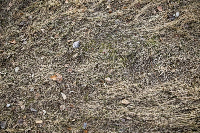 Dry, last year`s grass. Old straw background texture.Through the old rotten grass breaks young grass stock photo
