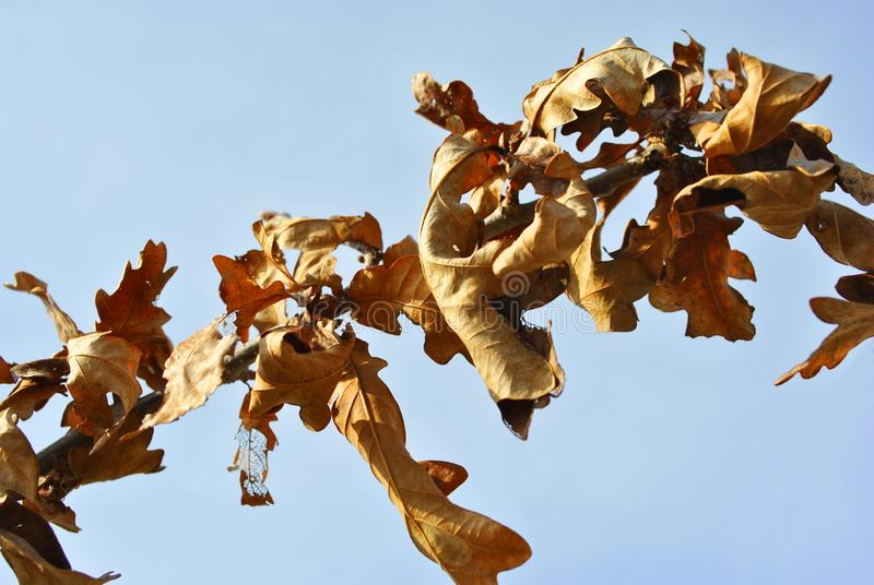 Dry last year`s rotten oak leaves on branch stock photos