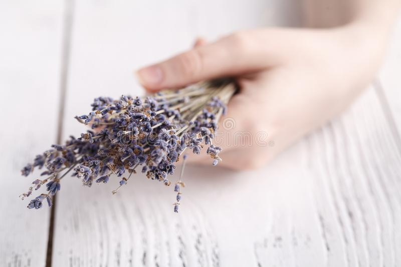 Dry lavender in female hands stock photo