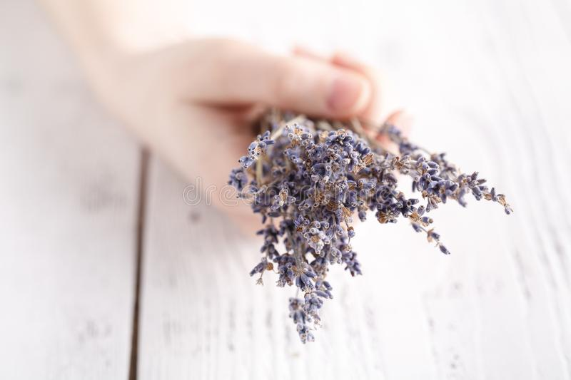 Dry lavender in female hands royalty free stock photo