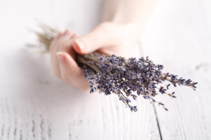 Dry lavender in female hands royalty free stock photography
