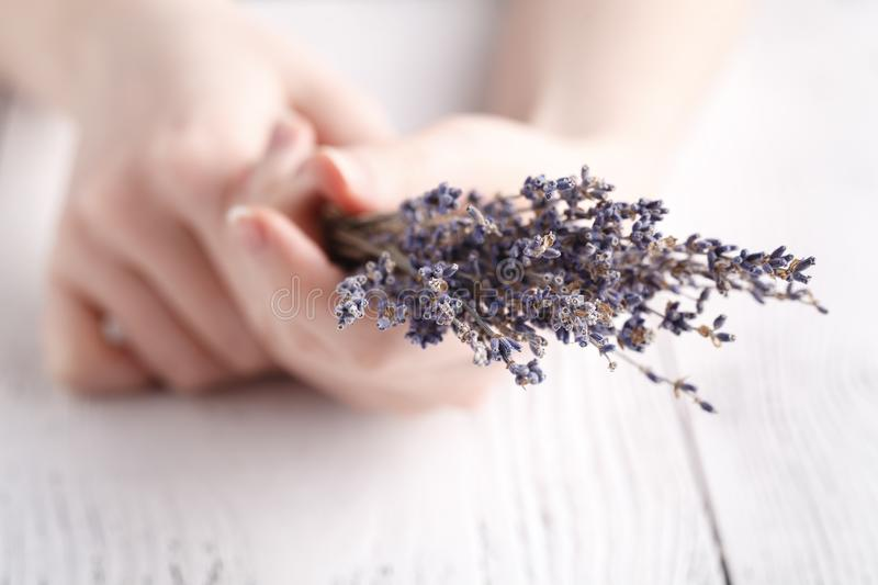 Dry lavender in female hands stock image