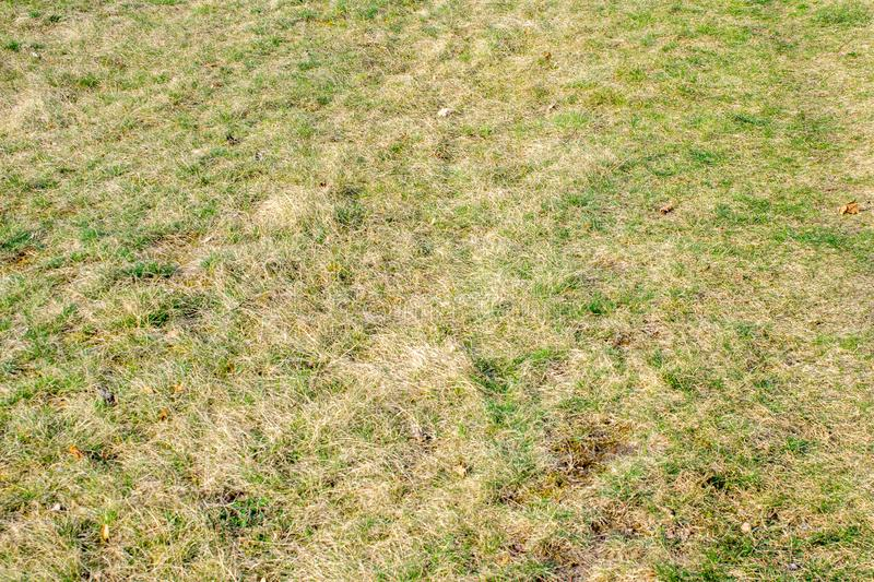 Dry lawn with green tufts of grass.  stock image