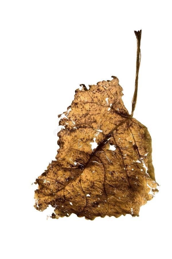Free Dry Leaf Royalty Free Stock Photo - 10401635