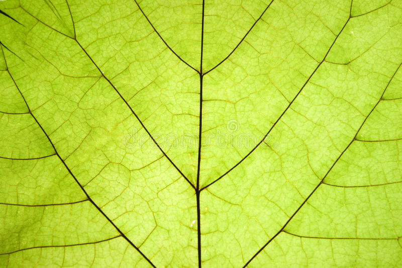 Dry leaf detail texture. Green dry leaf detail texture royalty free stock photos