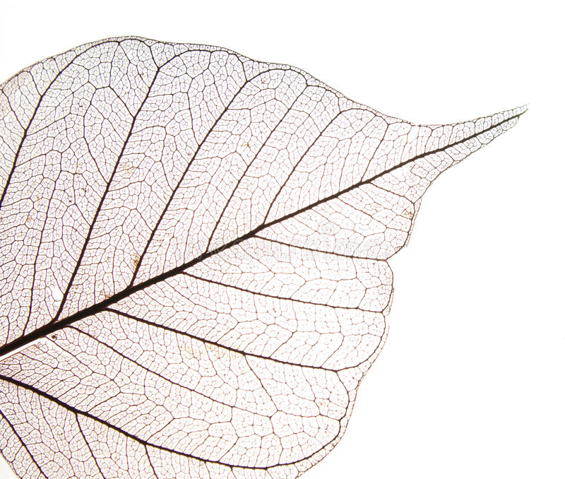 Dry leaf detail texture. In front to light stock photos