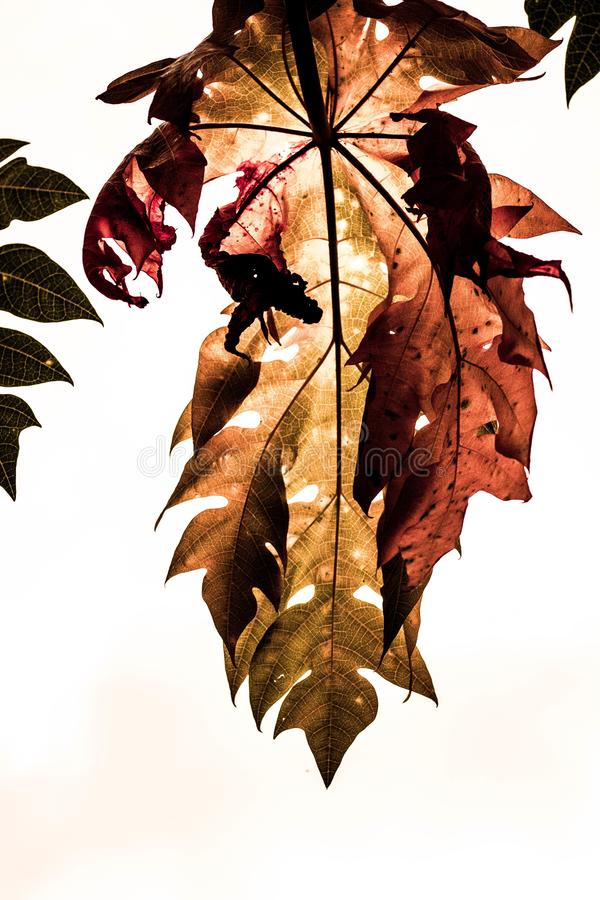 Dry leaf In the fall. Autumn leaves in the evening royalty free stock image