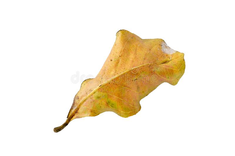 Dry leaf on white backgrounds stock image