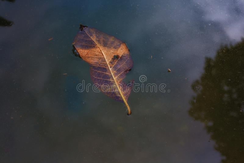 Dry leaves fall in the water stock photos