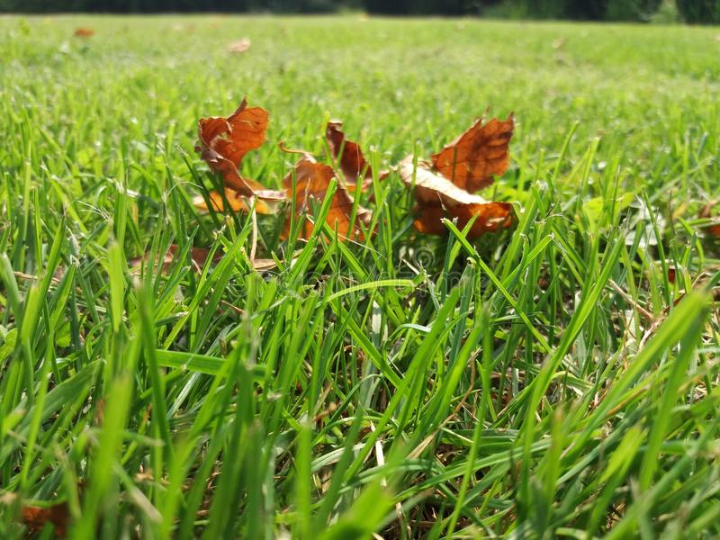 Dry leaves in green grass royalty free stock photos