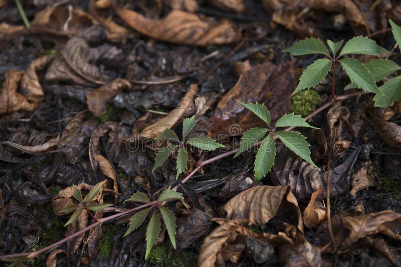 Dry leaves on ground. Gray and brown leaves cover surface of ground is beauty pattern background in forest. Dry leaves on ground. Gray and brown leaves cover royalty free stock images
