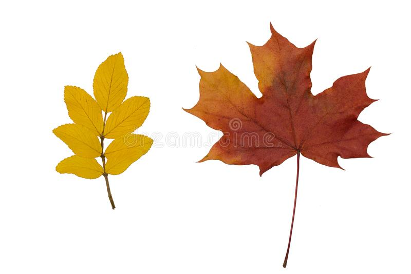 Dry leaves of mountain ash and maple stock photo