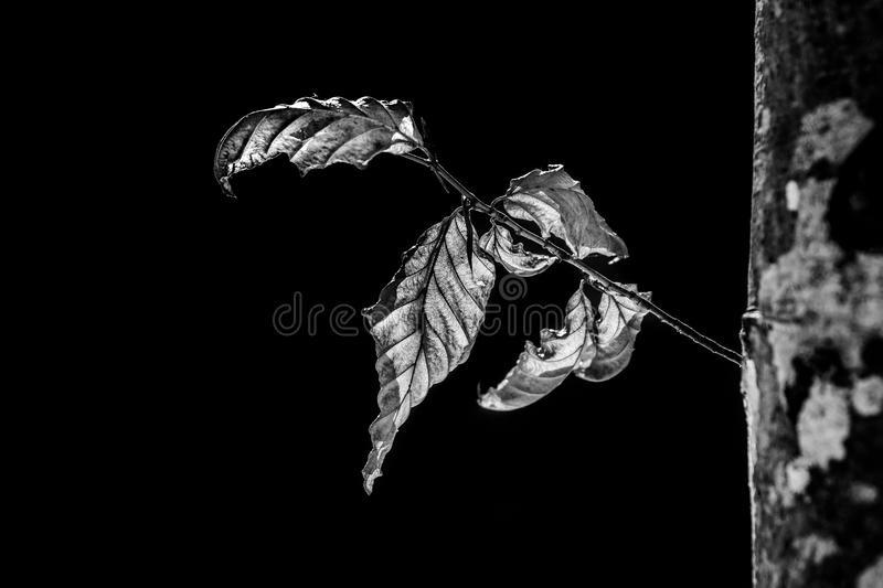 Dry leaves of a tree, monochrome photo on black background, autumn nature concept stock image
