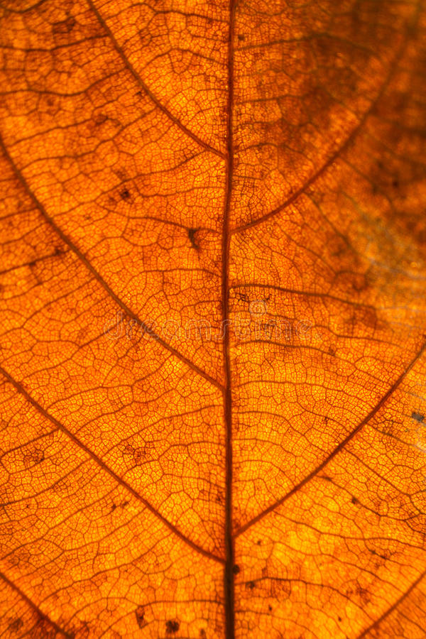Dry leaves veins texture. Close up on leaf texture. Leaf veins m royalty free stock photography