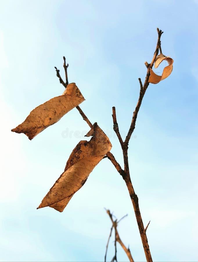 Dry lemon tree leaves on branch. royalty free stock photos