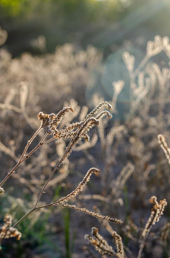 Dry light brown buds Heliotropium indicum are frontally lit by the sun. royalty free stock photo